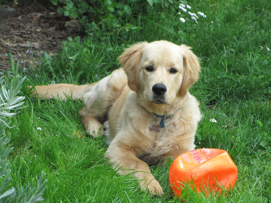 Oliver il golden retriever di Piemondo